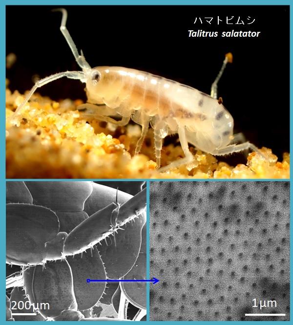 ハマトビムシの顕微鏡写真です