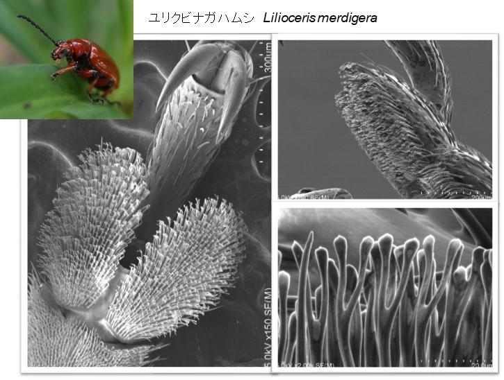 ユリクビナガハムシの脚の微細構造です