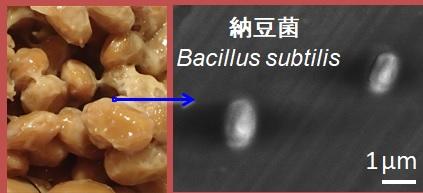 ナットウ菌の顕微鏡写真です