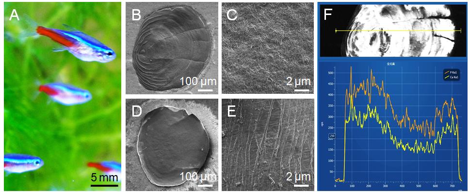 ネオンテトラの鱗のSEM画像
