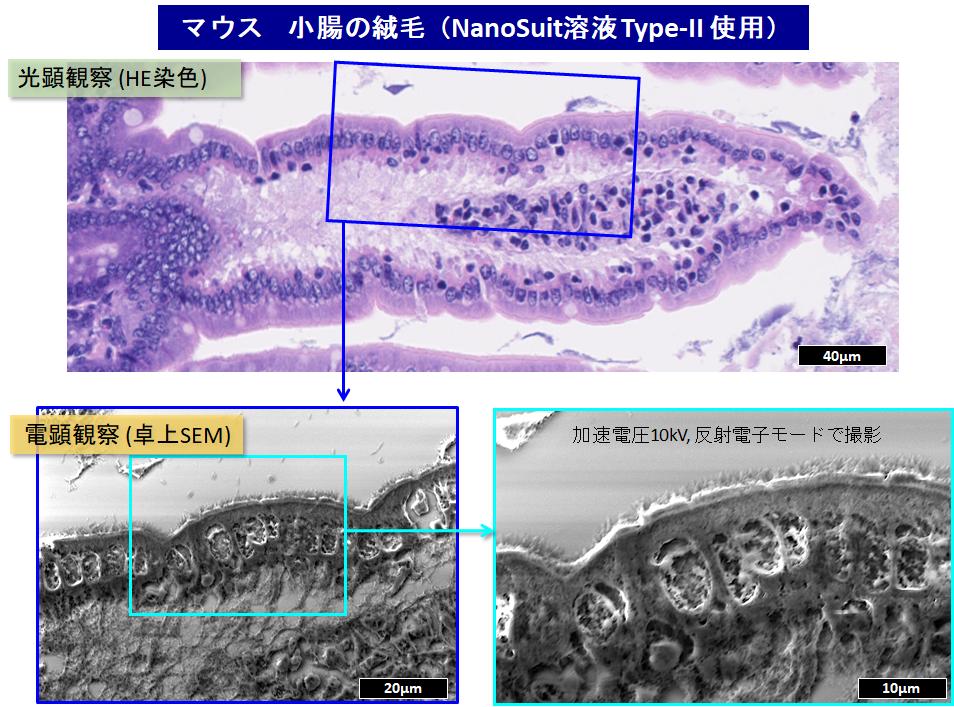 マウス小腸の観察画像
